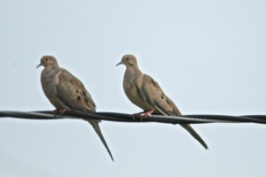 2 doves on a wire